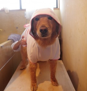 犬用バスローブに身をつつまれ